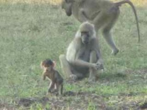 baboons in the bush