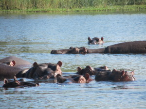 hippos cooling off in water