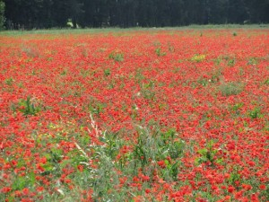 Fields of Red Poppies