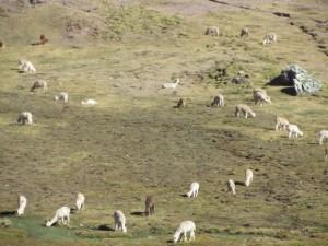 Field of llama