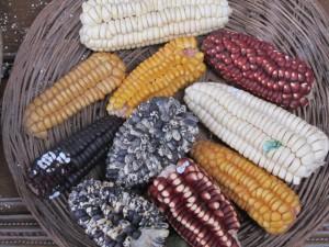 Heritage Corn: Peru