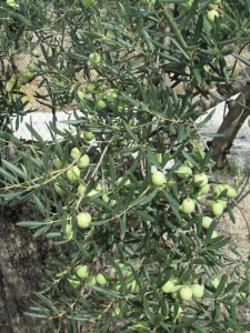 Olives before the harvest.